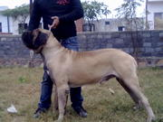 ENGLISH MASTIFF PUPS FOR SALE FROM IMPORTED N CHAMPION BLOODLINE