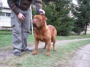 HIGH QUALITY DOGUE DE BORDEAUX DOGS FOR SALE