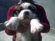 SAINTBERNARD PUPPIES FOR SALE DELHI-09718292706