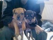 dogs/puppies available for sale at reasonable prices.
