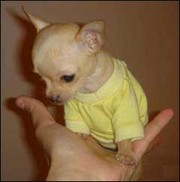 VINTAGE KENNEL    (CHIHUAHUA PUPPIES FOR SALE)