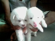 A pair of Pomeranians for Sale @7000