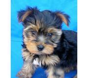 9313005254 Yorkshire Terrier   puppies.