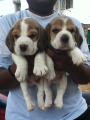 beagle pups for sale ..!!