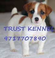JACK RUSSELL TERRIER PUPPIES FOR SALE..