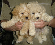 TOY POODLE PUPPIES FOR SALE.