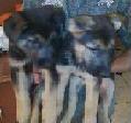 SALE -  GERMAN SHEPHERD PUPPIES
