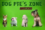 Tibaten mastiff pups for sale in dogpetszone