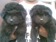 show quality  black teen Tibaten mastiff