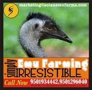 emu birds