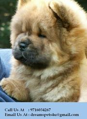 Cute,  Adorable & Show Quality Chow Chow Puppies for sale