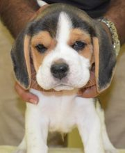 trust kennel offer's beagle puppies for sale..