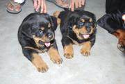 The Rottweiler can be a very fun loving dog;