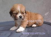 LHASA APSO PUPPS FOR SALE ASIA PETS  @  9911293906