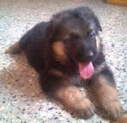 German shepherd can be a very fun loving dog...