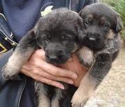 german shepherd puppies for sale in delhi & ncr