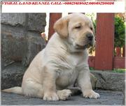 LABRADOR PUPIES FOR SALE IN BEST PRICE