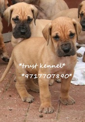 the trust kennel's GREAT DANE puppies for sale..