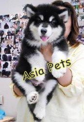 ALASKAN MALAMUTE PUPPY  For Sale  ® 9555944924