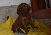 IRISH SETTER PUPPIES FOR SALE AT 9830064171
