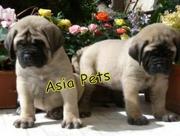 English MASTIFF PUPPIES FOR SALE ARYAN KENNEL - 9555944924