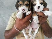 Beagle Breed for sale,  New Delhi