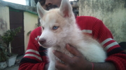 show quality husky pups for sale