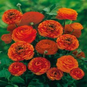 Flowers Seeds Online In India by Kraft Seeds