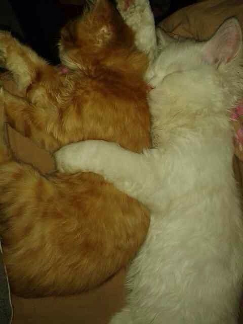 Persian kittens for sale - Delhi - Cats for sale, kittens for sale ...