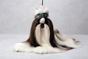 adorable show quality SHIHTZU puppies for sale.trust kennel