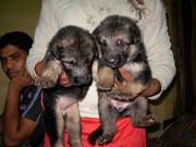 adorable show quality german shepherd puppies for sale.trust kennel