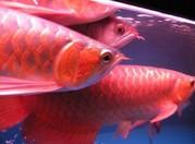 Premium Quality tropical Aquarium Fishes For Sale
