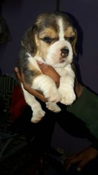 Beagle puppies available with best pedigree and out of import parents