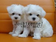 Show Quality   Maltese   Puppy Available at Joshikennel