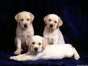 Labrador Pup sales