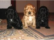 american cocker spianel puppies for sale at very reasonable price