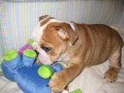 English Bulldog Puppies (small)